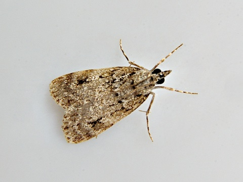 Scoparia ancipitella